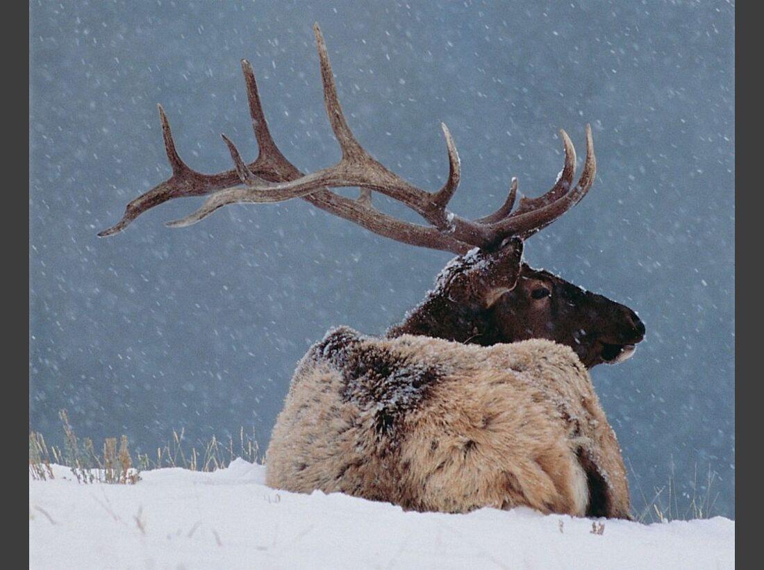 Banff_Elk_in_Winter-8591 (jpg)