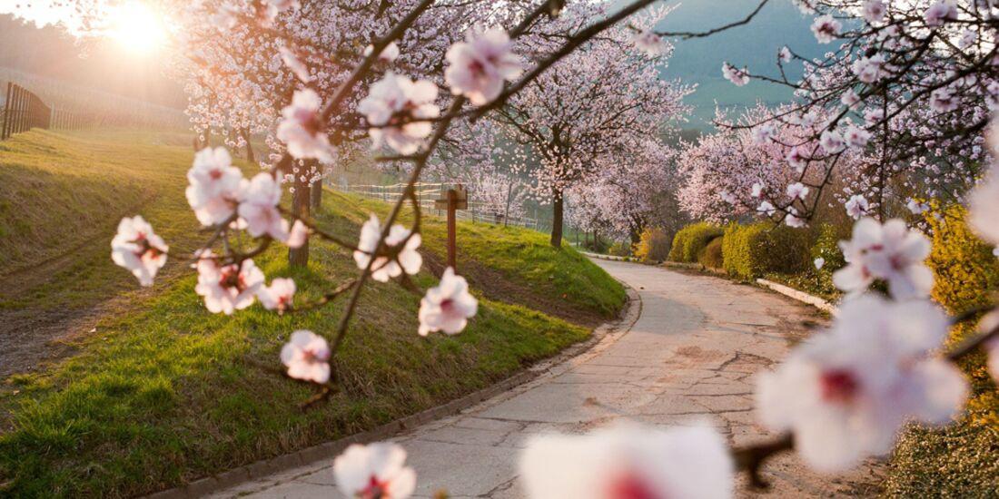 OD 2015 Pfalz Mandelblüte Wandern Südliche Weinstraße