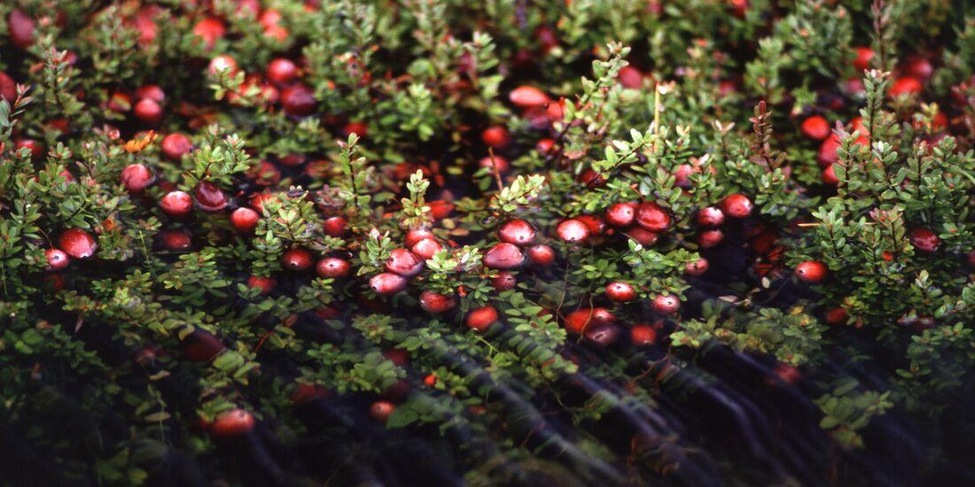 OD 2019 Cranberry Moosbeere essbare Pflanze Ernährung Kochen Küche