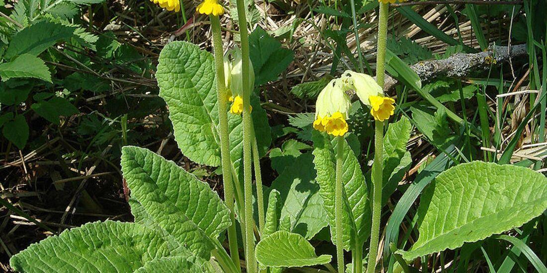 OD 2019 Wiesenschlüsselblume essbare Pflanzen Fauna Natur Blumen