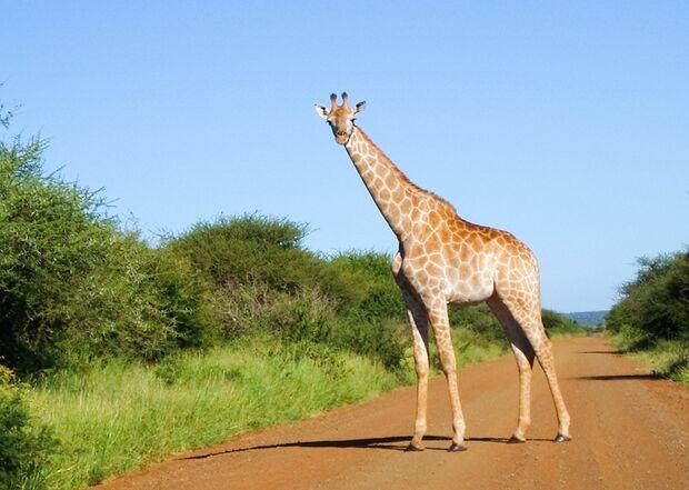 OD Giraffe in Südafrika