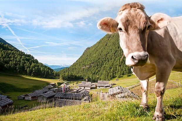 od 6 Mountain Days Brixen Südtirol 2019 - Wasser Licht Festival - Kuh