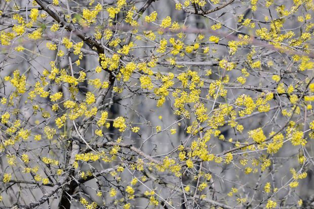 od-essbare-pflanzen-Gelber_Hartriegel_COLOURBOX13419042.jpg