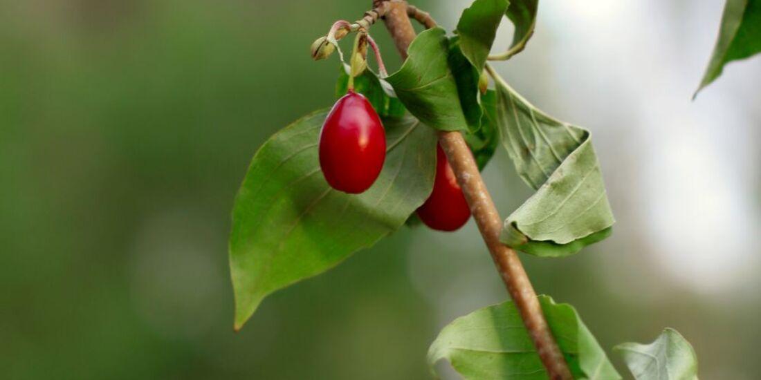 od-essbare-pflanzen-Gelber_Hartriegel_COLOURBOX4387128.jpg