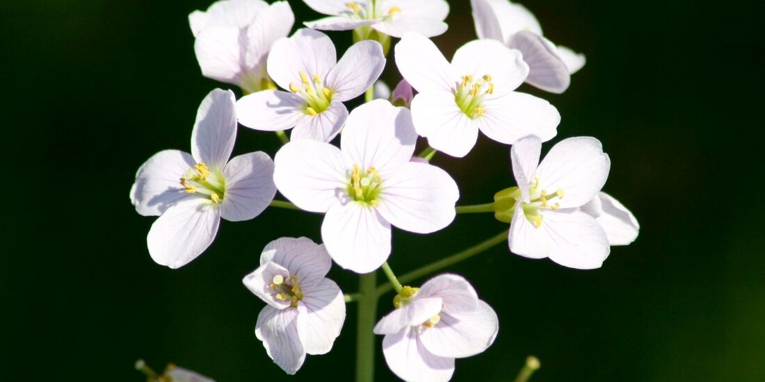 od-essbare-pflanzen-Wiesen Schaumkraut_COLOURBOX13540944.jpg